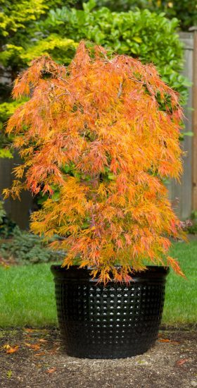 Small Japanese Maple in Pot during Autumn Season