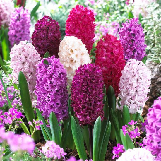 33_hyacinth_passion_mixed