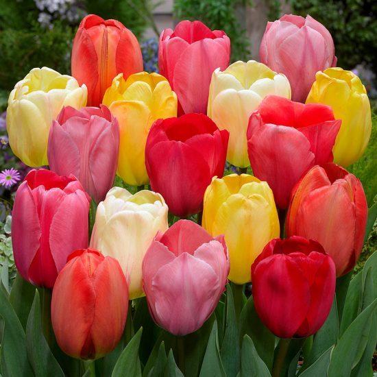 6_tulip_darwin_hybrid_mixed