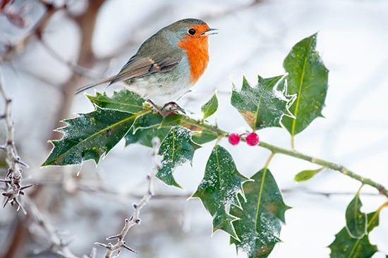Robin (Erithacus rubecula) on a Frosty Holly Bush