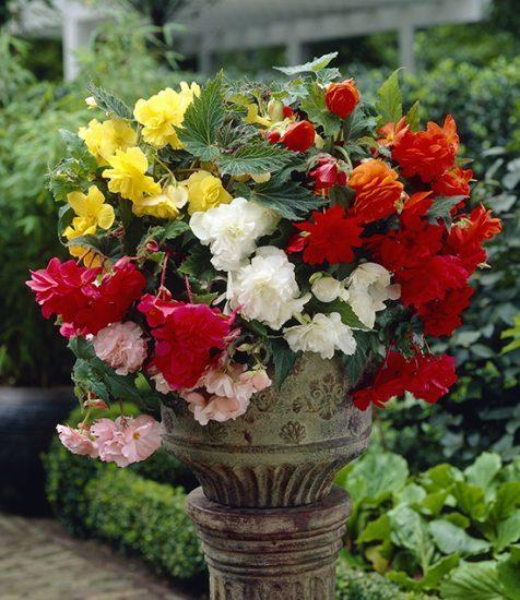 Mixed Cascading Begonias