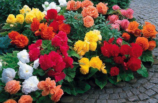 Non-Stop Begonia Collection