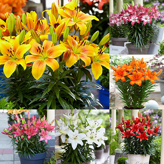 Joy Lily Collection