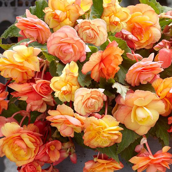 Begonia Apricot Cascades