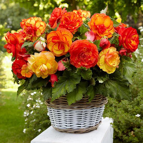 Begonia Picotee Sangria 1013594