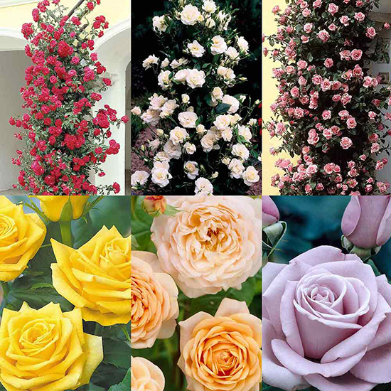 Climbing Rose Collection 1007156