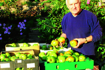 A good crop of Bramleys. John Stoa harvest