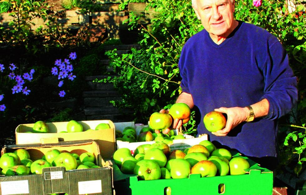 A good crop of Bramleys. John Stoa harvest