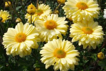 chrysanthemum and disbudding