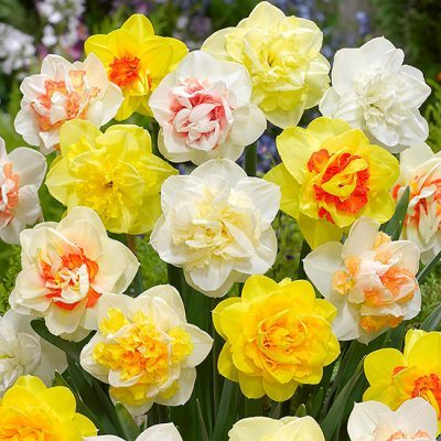 Daffodil Double Mixed