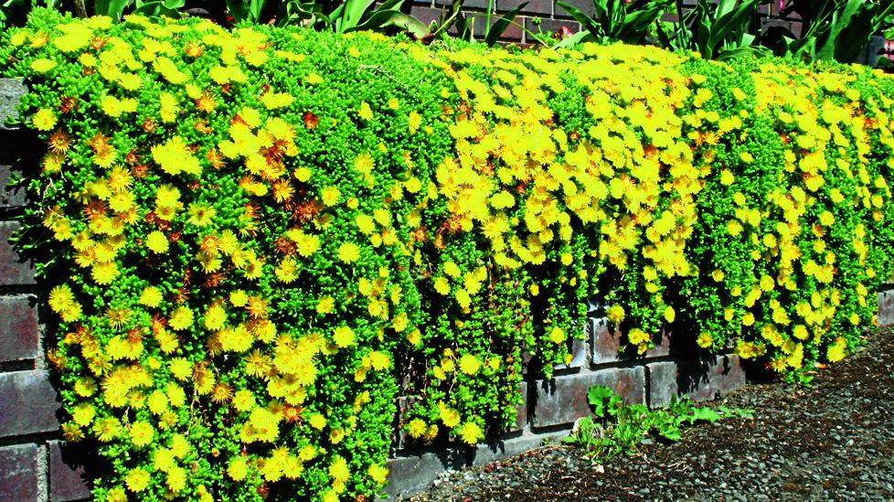 Flowers: Delosperma nubigenum