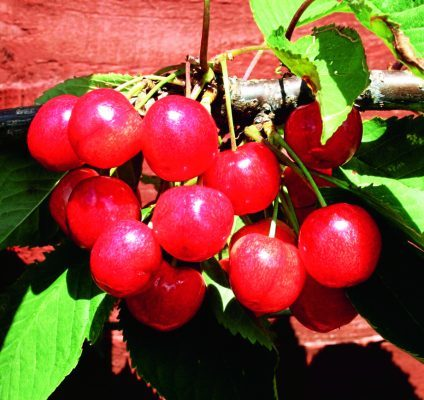 Dwarf cherry Cherokee fruits