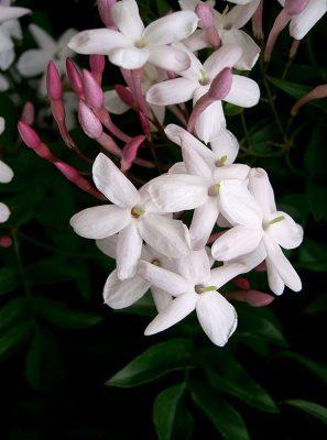 Jasminum polyanthum spain