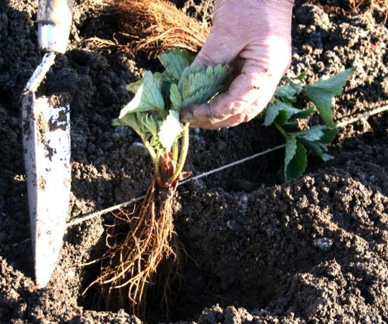 Planting strawberry runners. What plants to sow