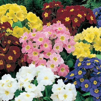 Polyanthus Crescendo Rainbow Mixed