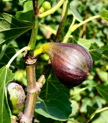 Ripe figs in September. August garden checklist