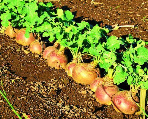 Swede Marian harvest