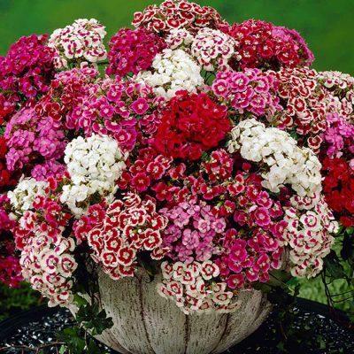 August In The Garden - Sweet William
