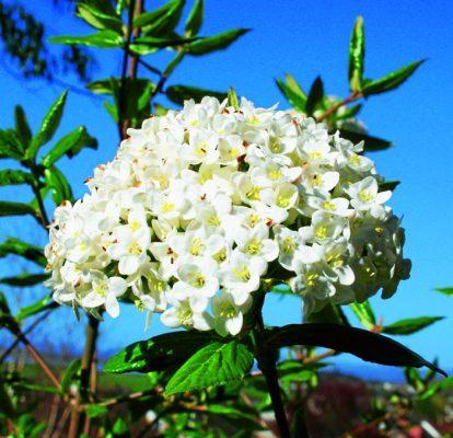 Flowers: Viburnum carlecephalum