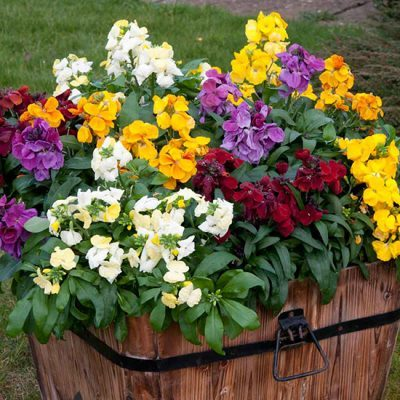 August In The Garden - Wallflower Sugar Rush