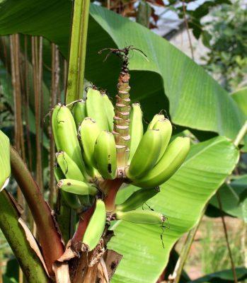 Young bananas Spain
