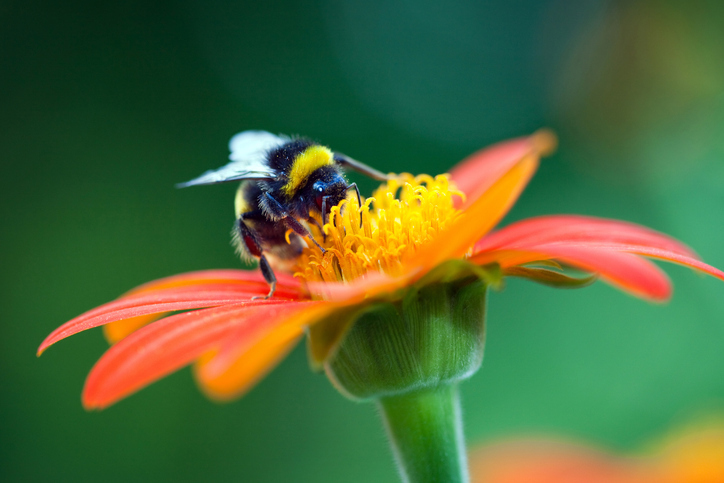 Bumblebee on the red flower. Climate change