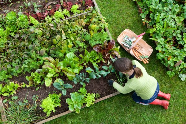 Birds eye view of a woman gardener weeding an organic vegetable garden with a hand fork, while kneeling on green grass and wearing red wellington boots. august checklist