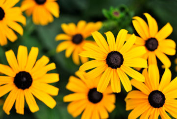 Top view of popular Black Eyed Susans. For more of my flowers (CLICK HERE). summer colour