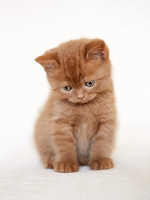 istock - sad british short hair kitten sitting on sofa, selective focus