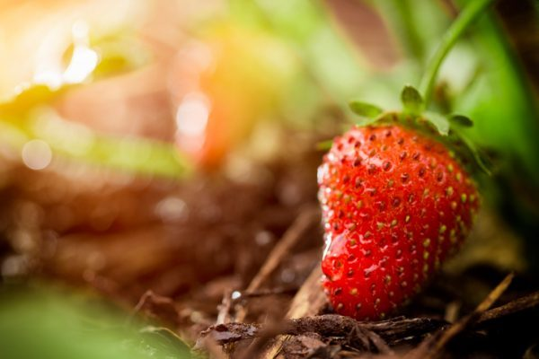 A macro photograph of a organic ripened strawberry plant at a strawberry farm or garden. Please see my portfolio for other gardening, farming, and food images. changing climate