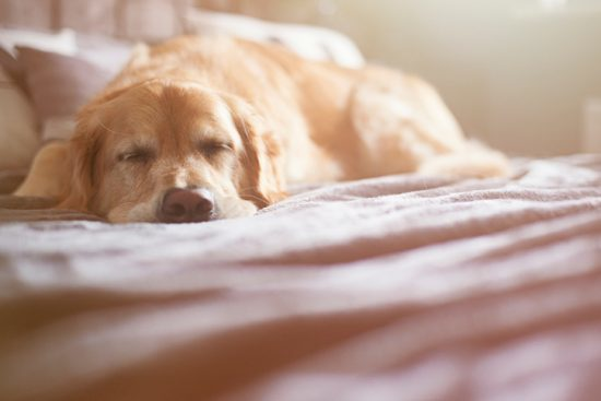 A golden retriever is asleep on the family bed. sleep tactics