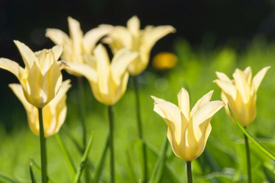 Group and close up of yellow lily-flowered single beautiful tulips growing in the garden. lilies in the feild