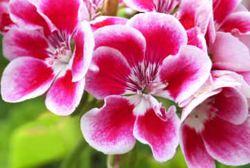"summer bedding display, ""Red and Pelargonium (Geranium) flowers, commonly used for potting and hanging baskets"""