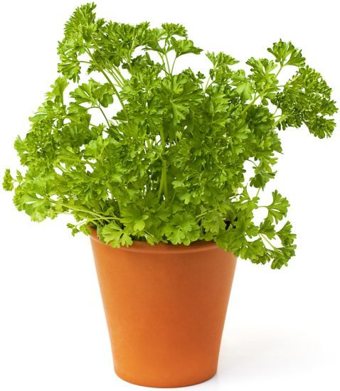 Fresh green parsley on white. health benefits of parsley