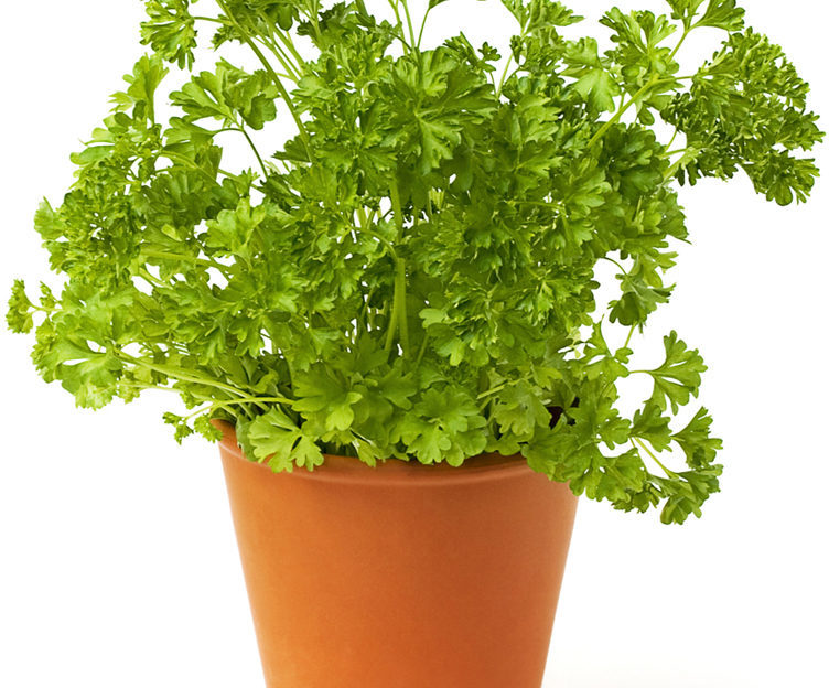 Fresh green parsley on white. health benefits of parsley