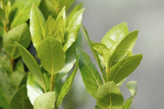 Bay leaf (Laurus nobilis) (bay laurel/sweet bay/bay tree/true laurel/laurel tree) the aromatic leaves use for seasoning in cooking, native to the Mediterranean region. bay tree suckers