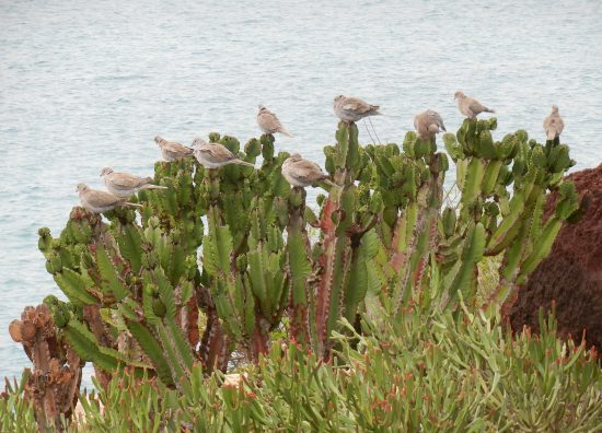 Exotic birds of Fuerteventura