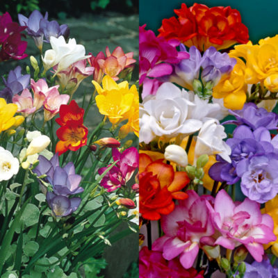 Double Freesia Mixed 1007