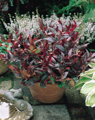 Our Top Six Easy Maintenance Evergreen Shrubs The Peoples Friend
