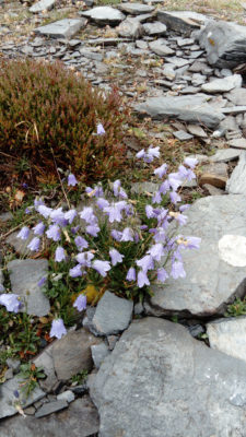 Harebells growing amongst the slate