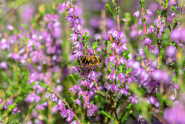 heather pollinated bees