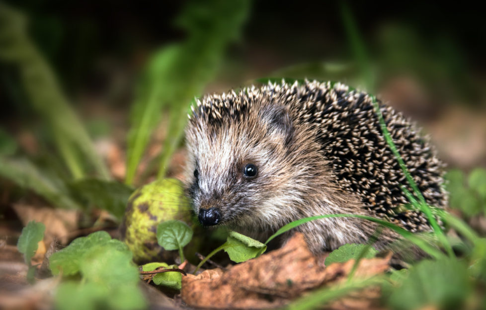 hedgehog awareness week
